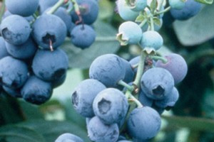 berry-plants