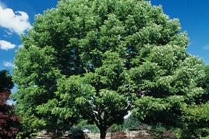 shade-trees
