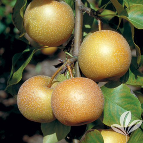 Life. There's Asian pear nursery consider