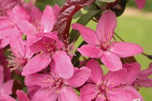 flowering-trees