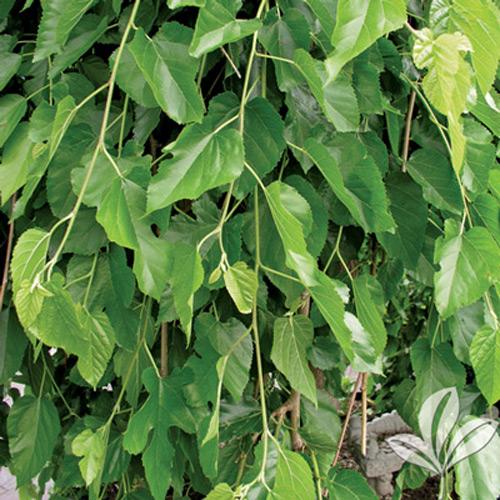 Fruitless Mulberry Texas Pecan Nursery