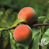 Peaches – Texas Pecan Nursery